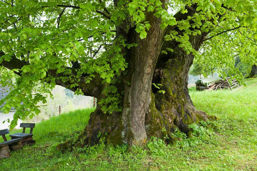 Drzewo lipa drobnolistna na łonie natury, a także jej uprawa i pielęgnacja
