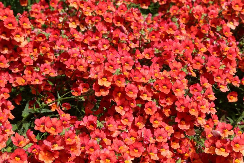 Pomarańczowa nemezja, Nemezis strumosa w czasie kwitnienia, a także jej uprawa i pielęgnacja