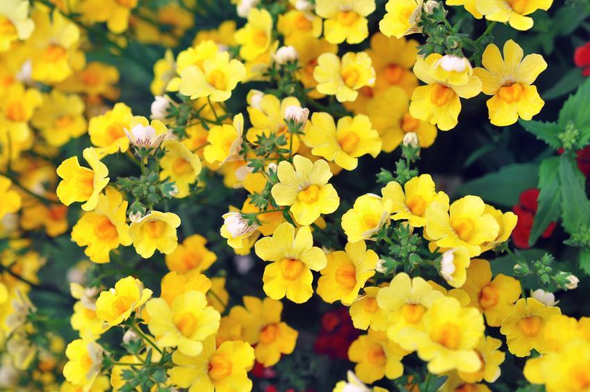Żółta nemezja, Nemezis strumosa w czasie kwitnienia, a także jej uprawa i pielęgnacja