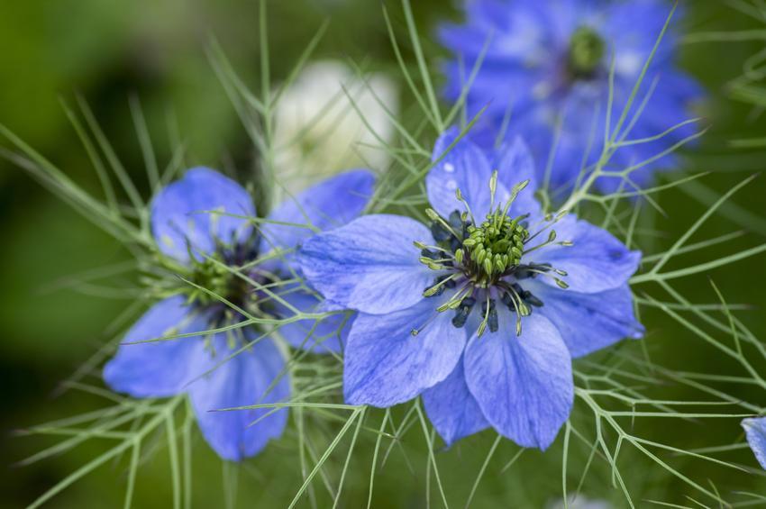 Czarnuszka damasceńska, Nigella damascena w czasie kwitnienia, a także jej uprawa i właściwości