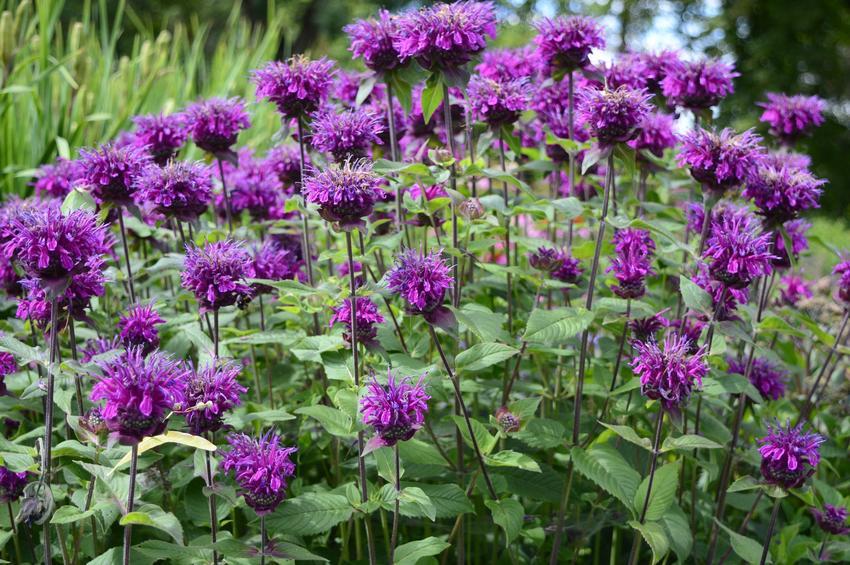 Bylina pysznogłówka ogrodowa fioletowa w czasie kwitnienia, a także uprawa i pielęgnacja