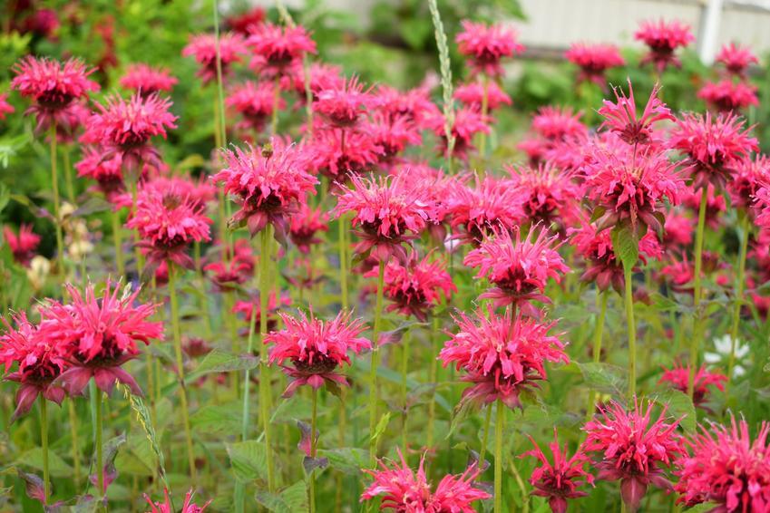 Bylina pysznogłówka ogrodowa czerwona w czasie kwitnienia, a także uprawa i pielęgnacja
