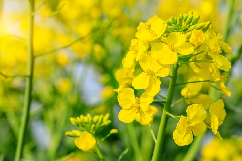 Rzepak, Brassica napus i zbliżenie na jego kwiat, a także opis i uprawa