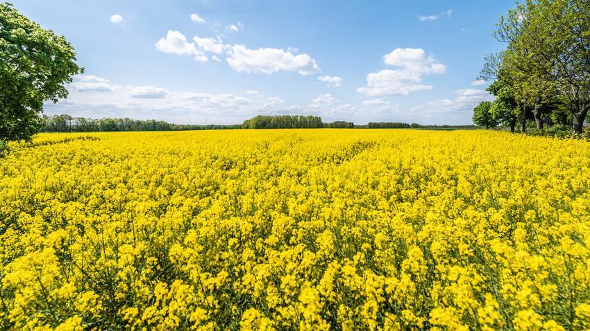 Żółty rzepak, Brassica napus na polu w czasie kwitnienia oraz jego uprawa i porady