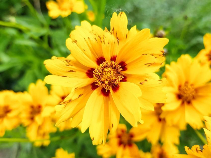 Nachyłek wielkokwiatowy, Coreopsis grandiflora i zbliżenie na kwiat, a także uprawa i porady