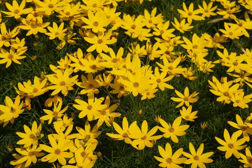 Nachyłek okółkowy, Coreopsis verticillata w czasie kwitnienia, a także uprawa i pielęgnacja