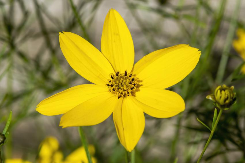 Nachyłek okółkowy, Coreopsis verticillata i zbliżenie na kwiat, a także uprawa i porady