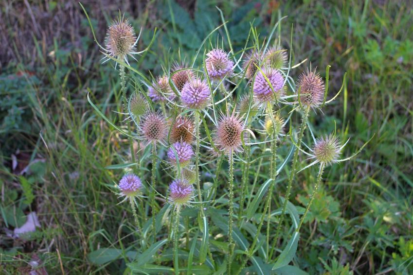 Roślina lecznicza szczeć pospolita w ogrodzie, a także właściwości i zastosowanie