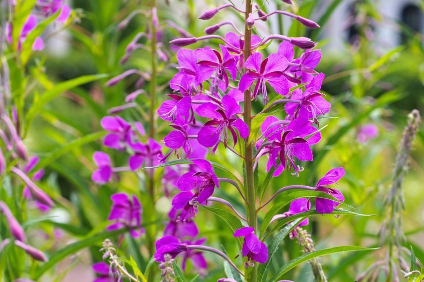 Roślina wierzbówka kiprzyca, Epilobium angustifolium w czasie kwitnienia, a także właściwości lecznicze i zastosowanie
