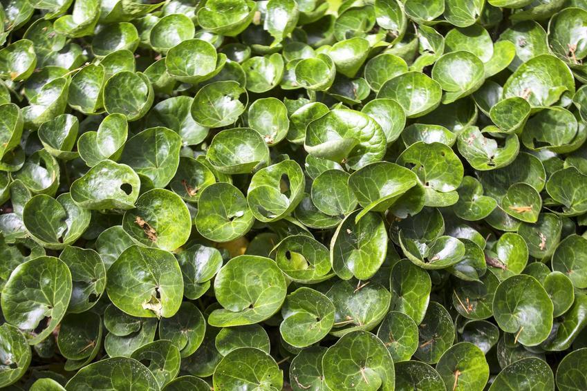 Roślina kopytnik pospolity, Asarum europaeum w czasie zielonego liścia w ogrodzie, a także jej uprwa
