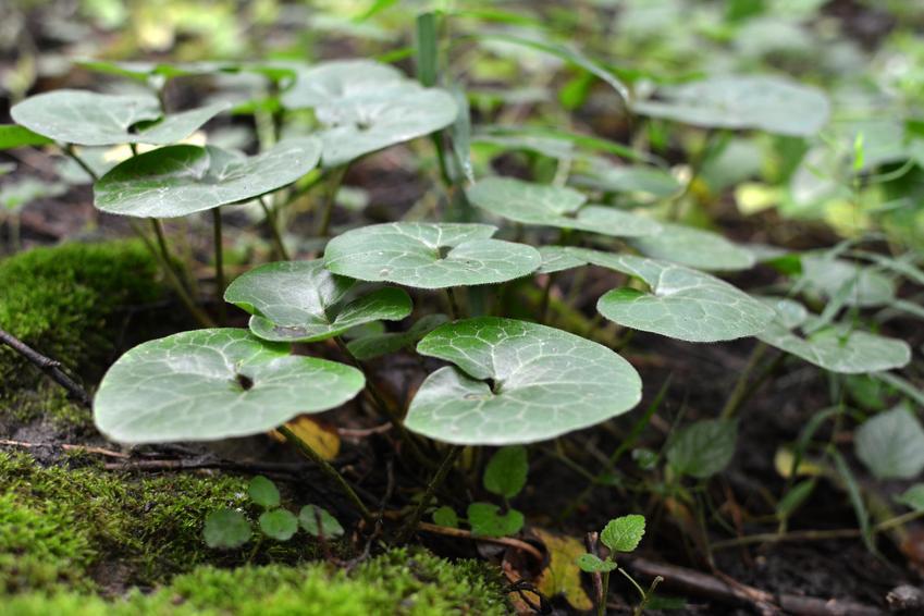 Kopytnik pospolity, Asarum europaeum w ogrodzie, a także jego uprawa i pielęgnacja