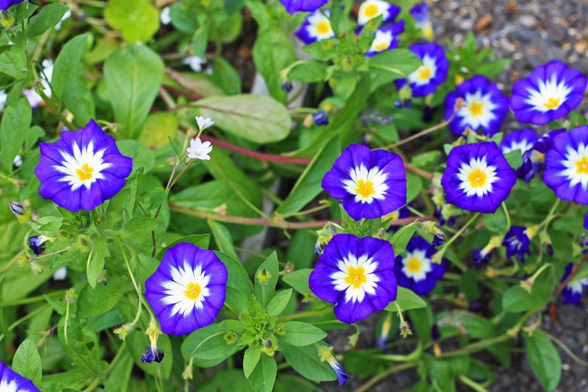 Roślina powój trójbarwny Convolvulus tricolor w czasie kwitnienia, a także uprawa i zastosowanie