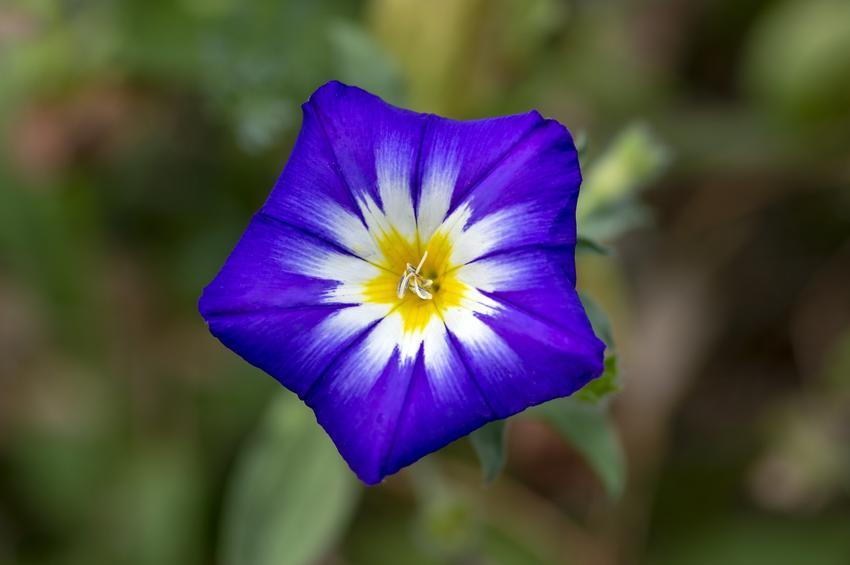 Kwiat powój trójbarwny Convolvulus tricolor i zbliżenie na kwiat, a także jego uprawa i wymagania