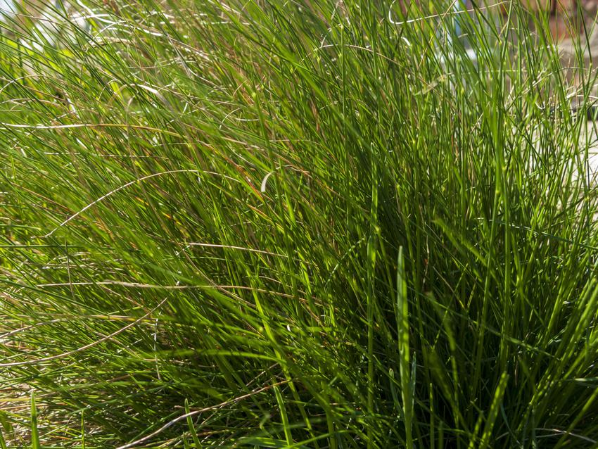 Trawa ozdobna kostrzewa łąkowa, Festuca pratensis w ogrodzie, a także jej wymagania