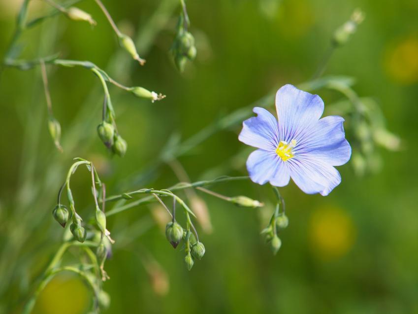 Roślina len trwały, Linum perenne i zbliżenie na kwiat lnu, a także uprawa i zastosowanie