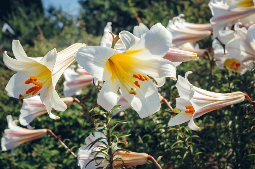 Kwiat lilia królewska, Lilium regale w czasie kwitnienia w ogrodzie, a także uprawa i pielęgnacja