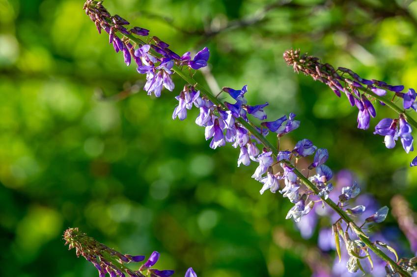 Roślina wyka ptasia, Vicia cracca i zbliżenie na jej kwiat, a także uprawa i zastosowanie