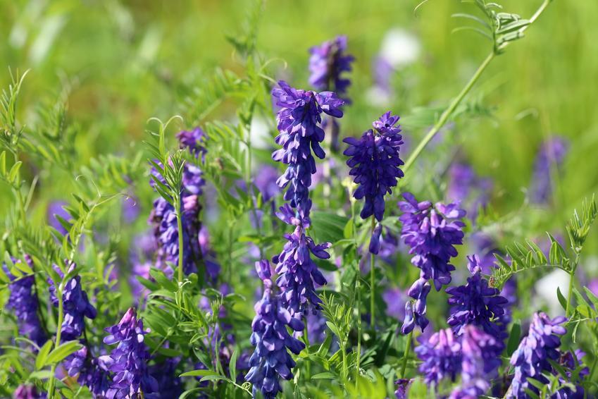 Roślina wyka ptasia, Vicia cracca w czasie kwitnienia, a także jej zastosowanie i cena