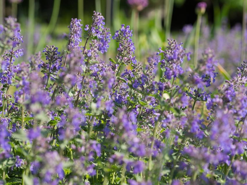 Kocimiętka właściwa, Nepeta cataria w czasie kwitnienia w ogrodzie, a także jej uprawa i wymagania