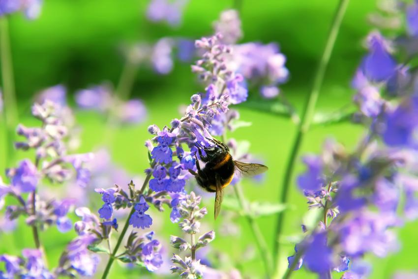 Kocimiętka właściwa, Nepeta cataria i zbliżenie na kwiat, a także stanowisko i uprawa w ogrodzie