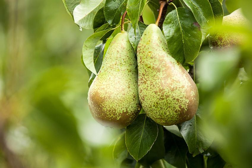 Owoce gruszy na drzewie, a także grusza pospolita, grusza domowa, Pyrus communis i jej uprawa
