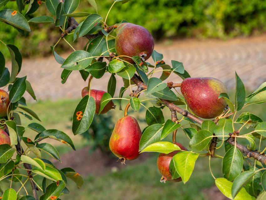 Gruszki na drzewie oraz grusza pospolita, grusza domowa, Pyrus communis i jej sadzenie