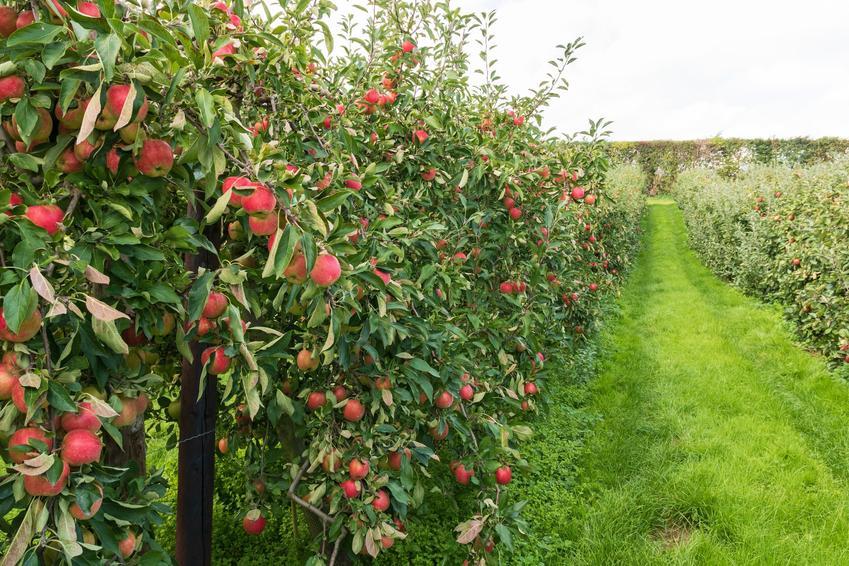 Jabłonie w sadzie z owocami, a także odmiany jabłoni, gatunki i popularne jabłonie w Polsce