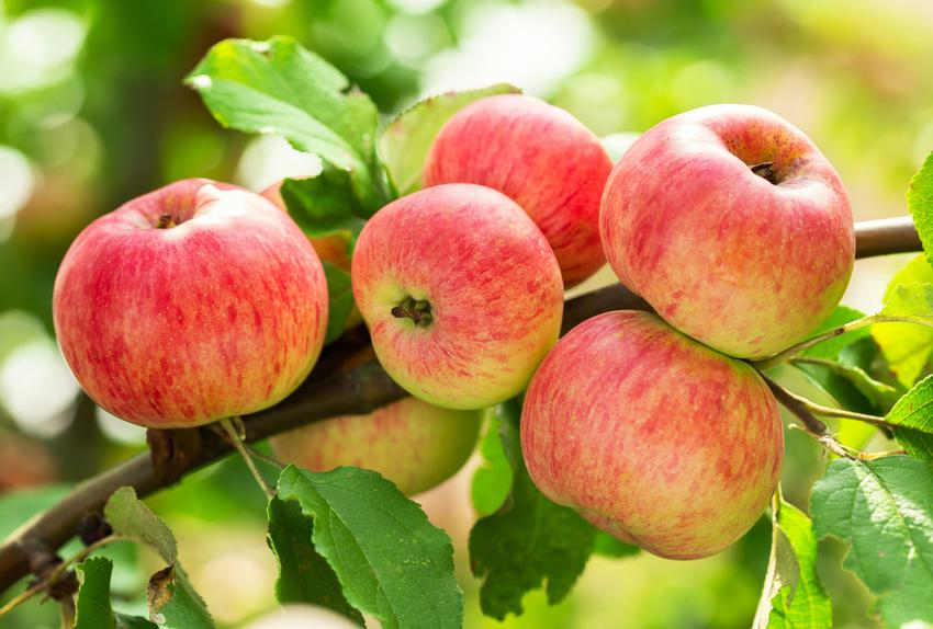 Jabłka na drzewie, a także popularne gatunki i odmiany jabłoni w Polsce