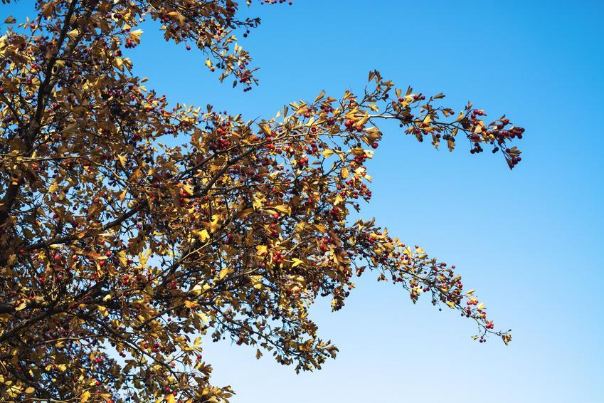 Drzewo jarząb szwedzki, Sorbus intermedia na tle nieba, a także uprawa i pielęgnacja