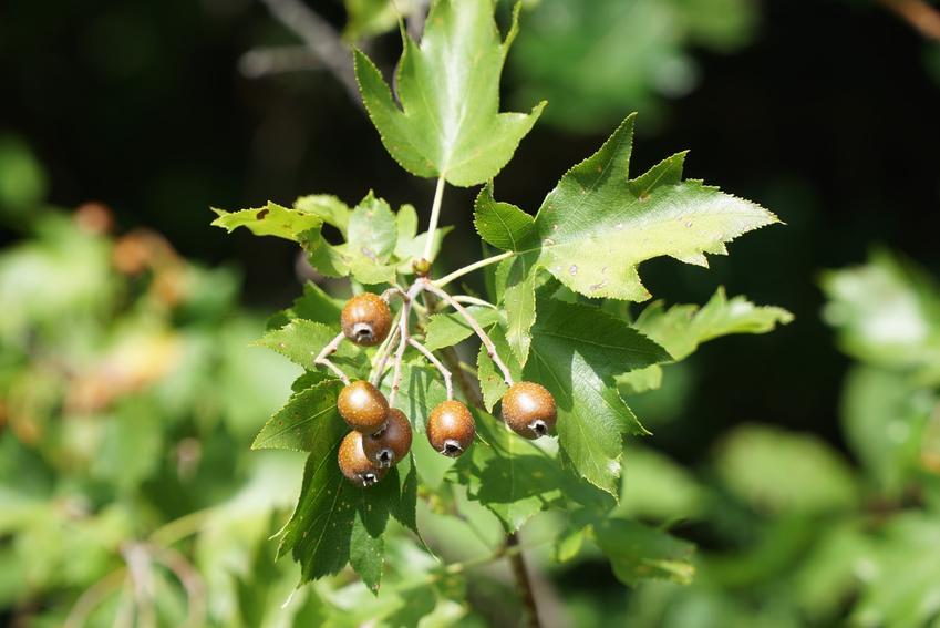 Drzewo jarząb brekinia, Sorbus torminalis i zbliżenie na owoce, a także uprawa i wymagania