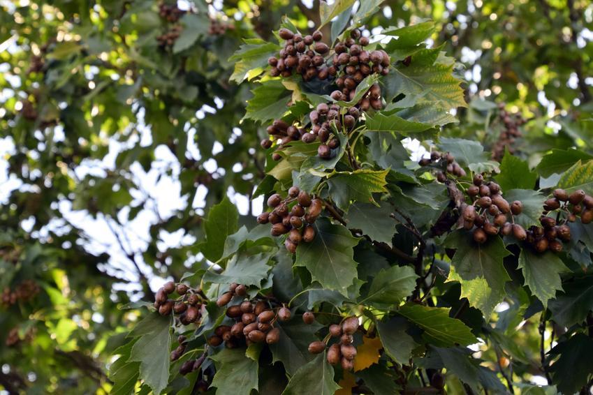 Drzewo jarząb brekinia, Sorbus torminalis na tle nieba, a także uprawa i pielęgnacja
