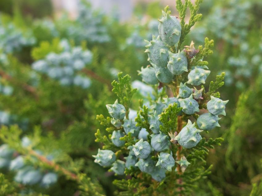 Krzew żywotnik wschodni, Platycladus orientalis i zbliżenie na owoce, a także jego uprawa