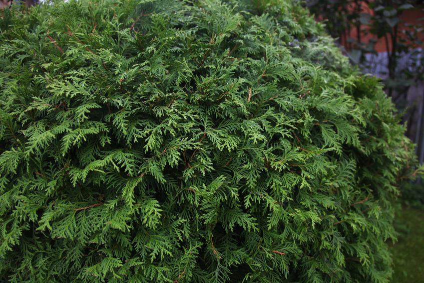 Krzew żywotnik wschodni, Platycladus orientalis w ogrodzie oraz jego uprawa i pielęgnacja