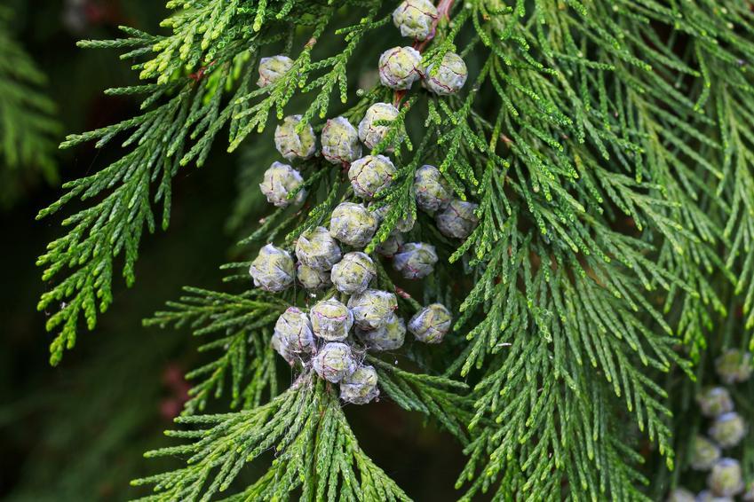Krzew żywotnik zachodni, Thuja occidentalis i zbliżenie na owoce, a także jego uprawa