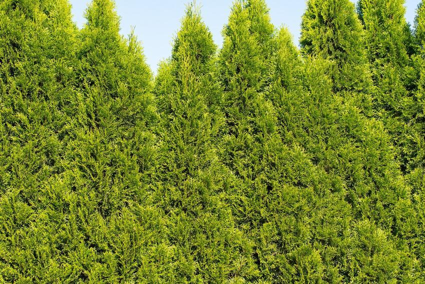 Krzew żywotnik zachodni, Thuja occidentalis w ogrodzie oraz jego uprawa i pielęgnacja