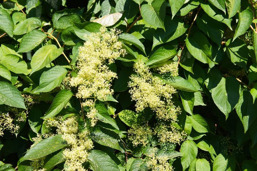 Krzew bez koralowy w czaie kwitnienia, a także zastosowanie, właściwości i uprawa