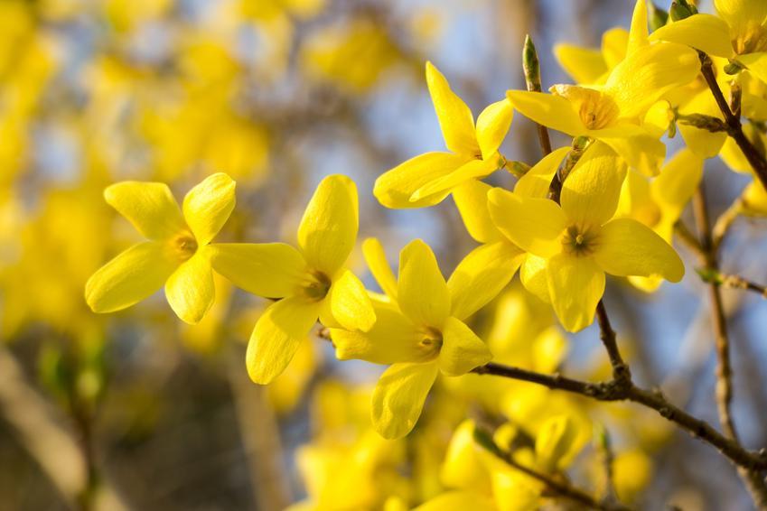 Forsycja pośrednia, Sambucus racemosa i zbliżenie na jej kwiaty, a także uprawa i pielęgnacja