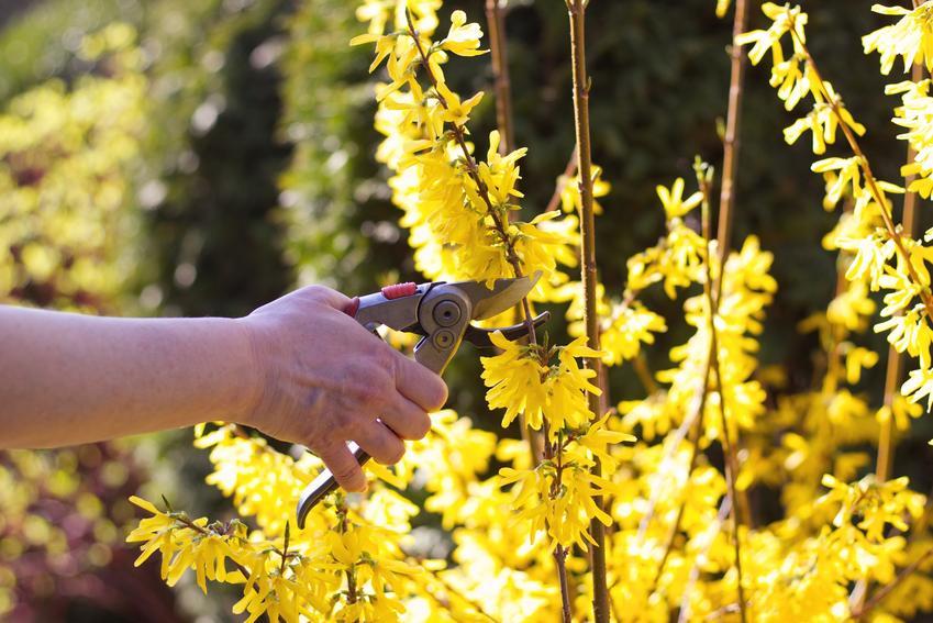 Forsycje w ogrodzie podczas przycinania, a także cięcie forsycji, przycinanie krzewu jesienią