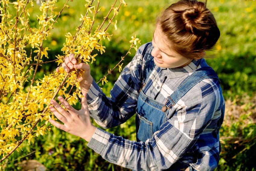 Kobieta zajmująca się forsycją w ogrodzie, a także cięcie forsycji, przycinanie jesienią i wiosenne