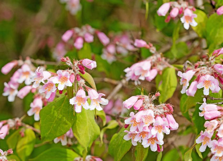 Krzew kolkwicja chińska, Kolkwitzia amabilis i zbliżenie na jego kwiaty, a także stanowisko i sadzenie