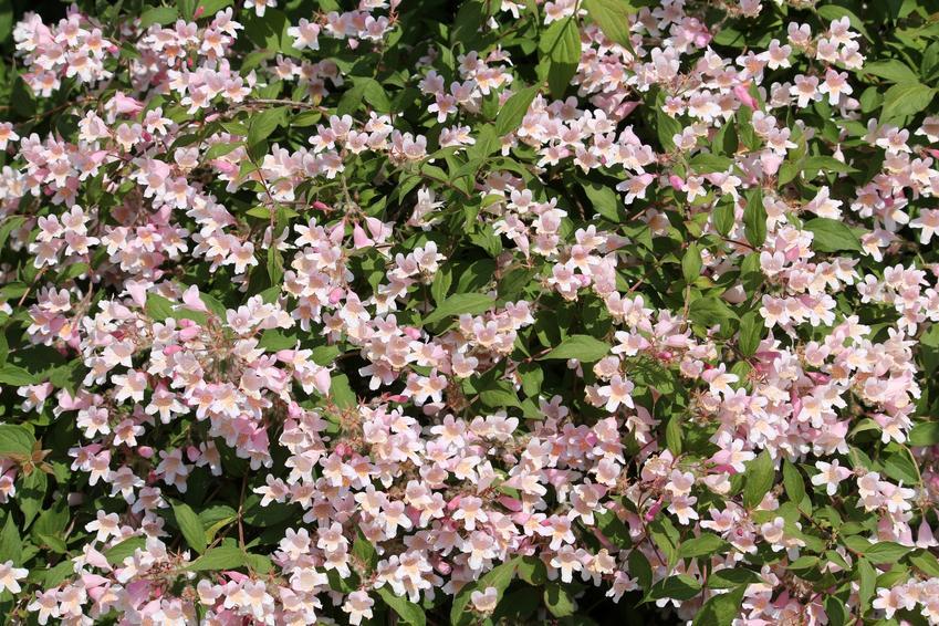 Krzew kolkwicja chińska, Kolkwitzia amabilis w czasie kwitnienia, a także stanowisko i sadzenie
