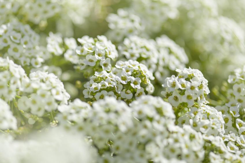 Kwiat smagliczka nadmorska, Lobularia maritima w czasie kwitnienia, a także uprawa i sadzonki