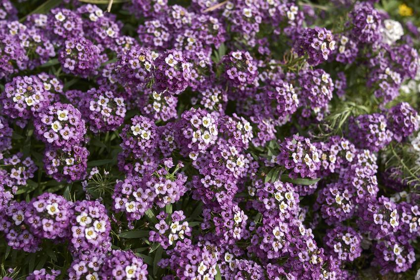 Kwiat smagliczka nadmorska, Lobularia maritima w czasie kwitnienia, a także uprawa i pielęgnacja