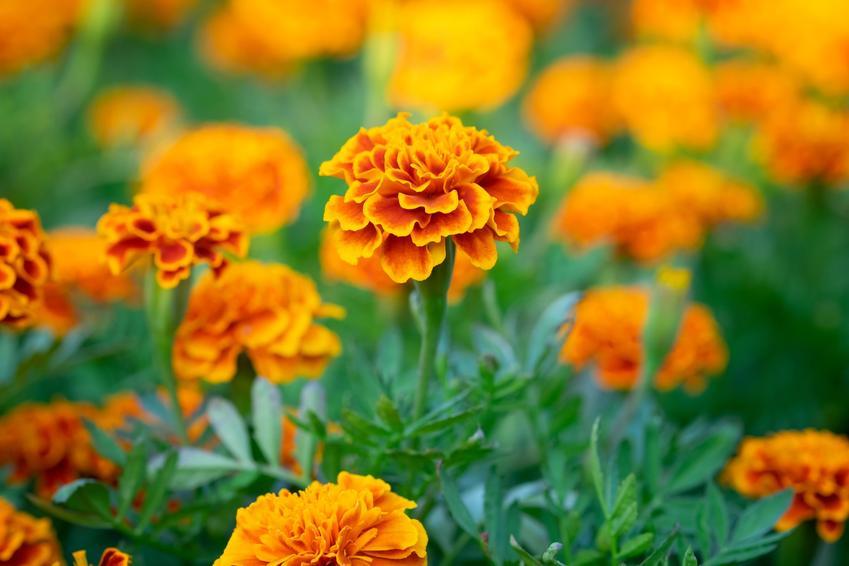Kwiat aksamitka wyniosła, Tagetes erecta w czasie kwitnienia, a także jej uprawa i zastosowanie