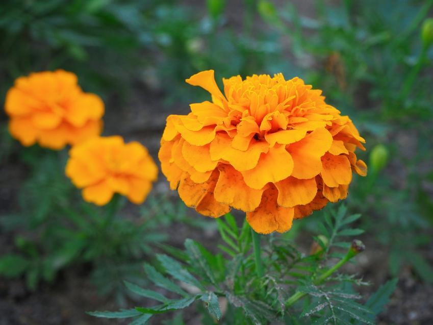 Aksamitka wyniosła, Tagetes erecta i zbliżenie na jej kwiat, a także zastosowanie i pielęgnacja