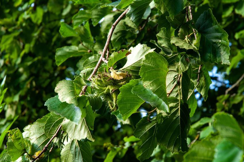 Drzewo leszczyna turecka, Corylus colurna na tle nieba, a także uprawa i sadzenie