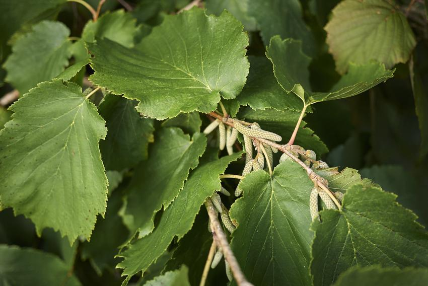 Drzewo leszczyna turecka, Corylus colurna i zbliżenie na owoce oraz uprawa i pielęgnacja