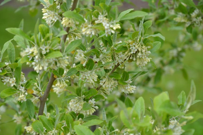Krzew oliwnik baldaszkowaty, Elaeagnus umbellata w ogrodzie, a także uprawa i sadzenie
