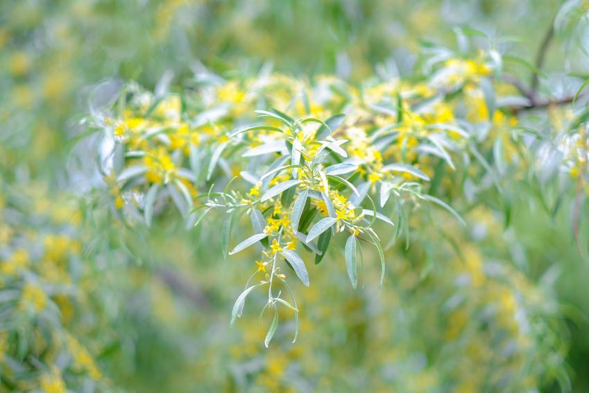 Drzewo korkowiec amurski, Phellodendron amurense na tle nieba, a także uprawa i sadzenie