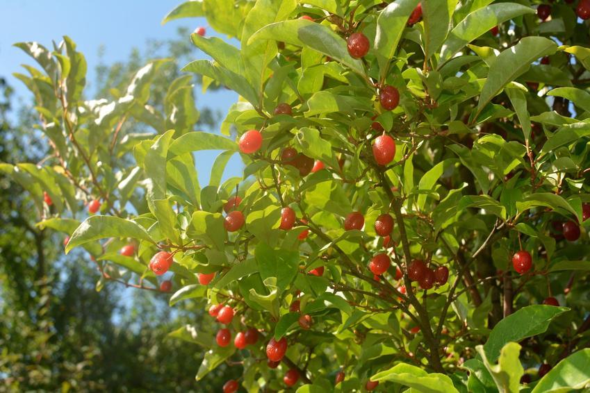 Krzew oliwnik wielokwiatowy, Elaeagnus multiflora i zbliżenie na owoce oraz uprawa i pielęgnacja